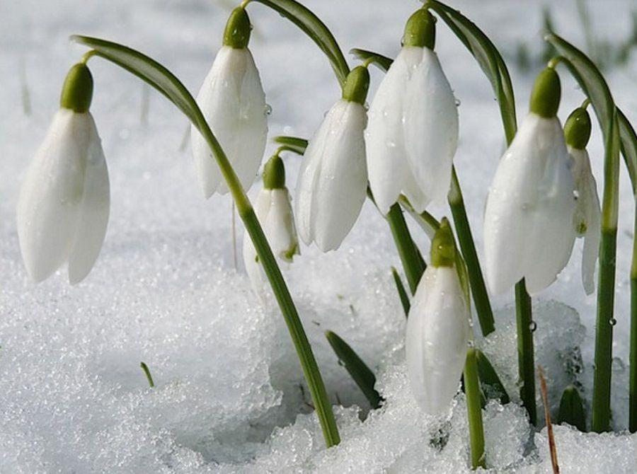 Фото с первым днем весны подснежники